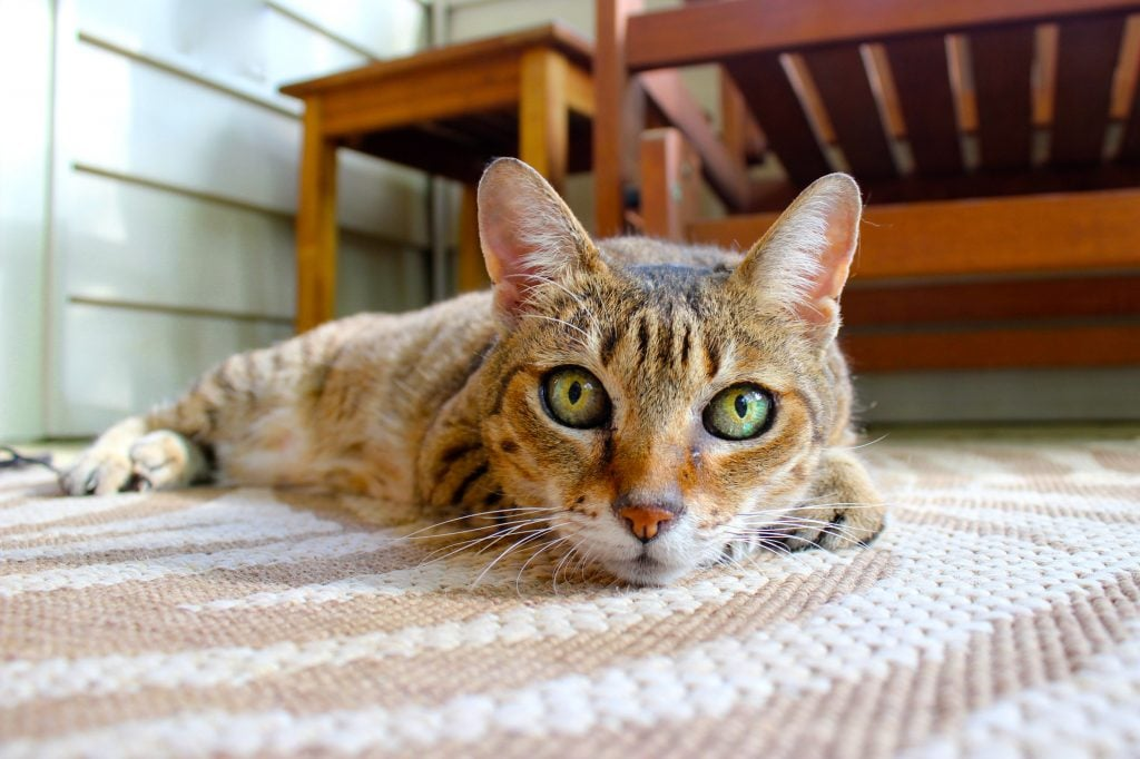 Best Flooring For Cats Dogs Carpets